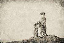 Meerkat family - look little sister