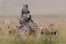 Zebra Fight by Barbara Dannenhauer