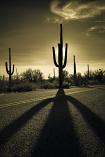 Saguaro by David Kooijman