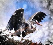 Glory of the Grey Heron