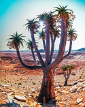 KMP_S6A1544 Aloe pillansii