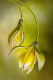 Tulip by Mandy Disher