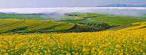 Canola Fields by Keith Phillips