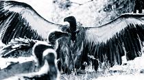Vultures #4