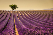 Lavender #1 by David Kooijman