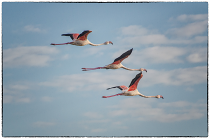 Flamingos by John Coleman