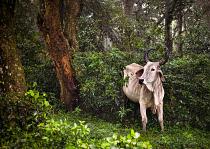 Nguni in Ongoye