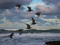 African Black Oyster catchers by Malcolm Sutton