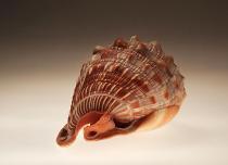Conch #1 by Martha van der Westhuizen