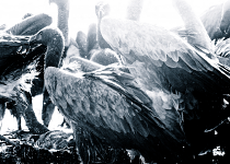 Vultures #2