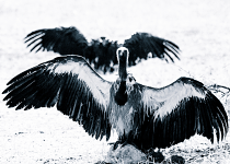 Vultures #6