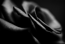 Dark Rose by Martin Zimelka
