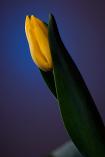 Tulip by Dylan van Graan
