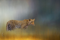 Leopard in Mist By Liesl du Toit