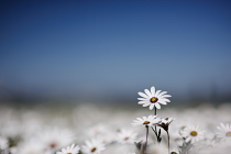 White Daisy, White Field