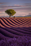 Lavender #2 by David Kooijman