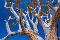 KMP_O4N5705 Aloe dichotoma by Keith Phillips