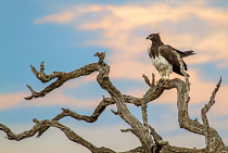 Martial Eagle by Abraham Mouton