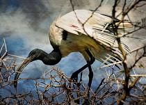Sinister Ibis