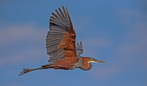 Goliath Heron by Malcolm Sutton