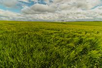 Windy Wheat field by Steff Hughes
