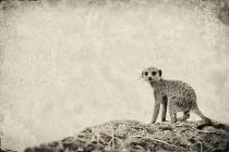 Meerkat family - Looking back