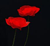 Poppies by Martha van der Westhuizen