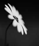 White Daisy, Black Sky