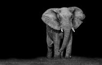 Addo Elephant Rushing In by Charmaine Joubert